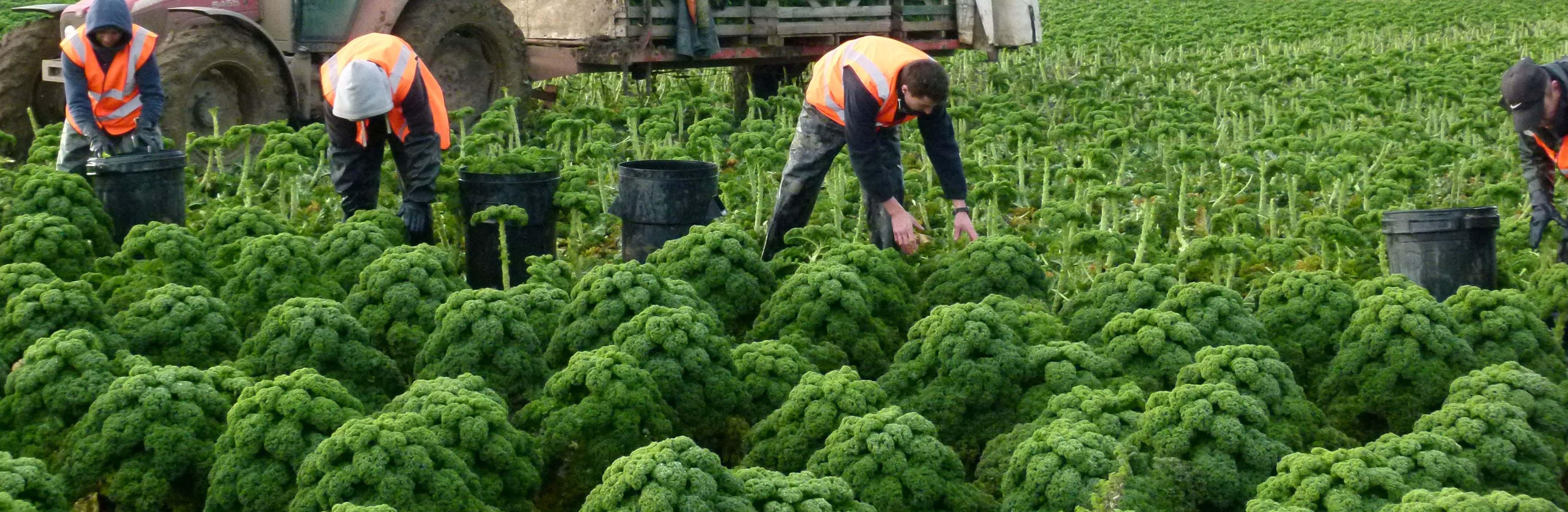 Pirates Cutters - Harvesting Broccoli