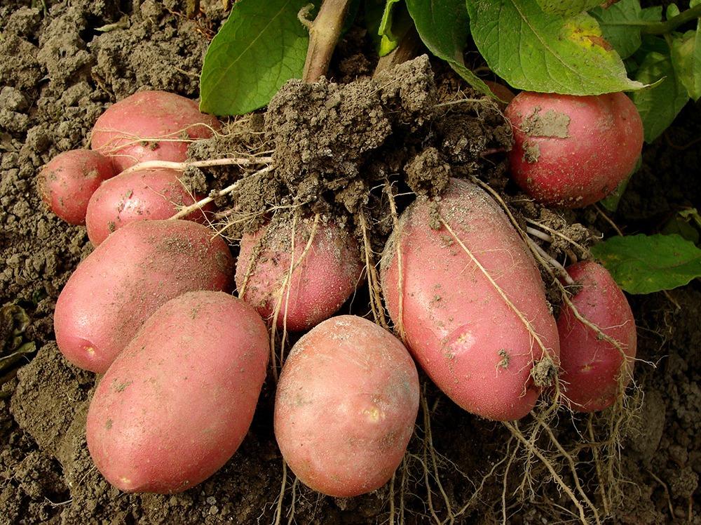 potatoes harvesting