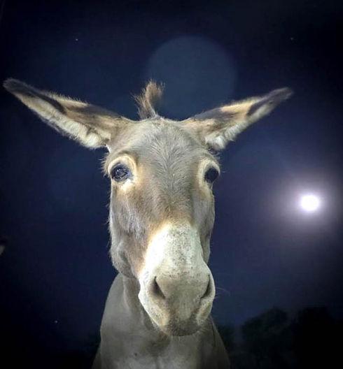 Koedoeslaagte Donkey