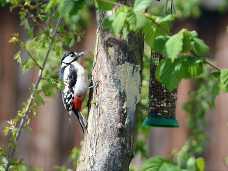 Wildlife Trail Camera - Garden 24.4.2015