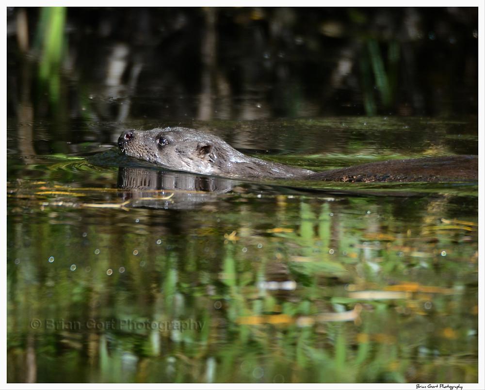Woolston Eyes Otter Warrington River Mersey Cheshire Wildlife Trust Brian Gort