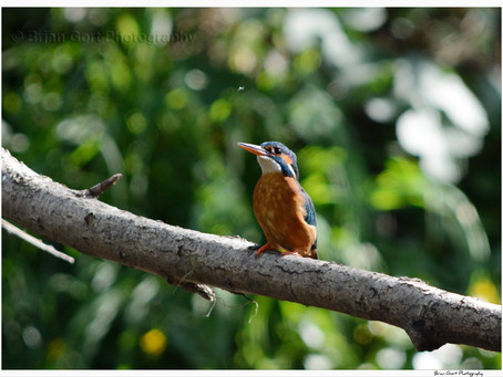 Kingfisher project - 2015