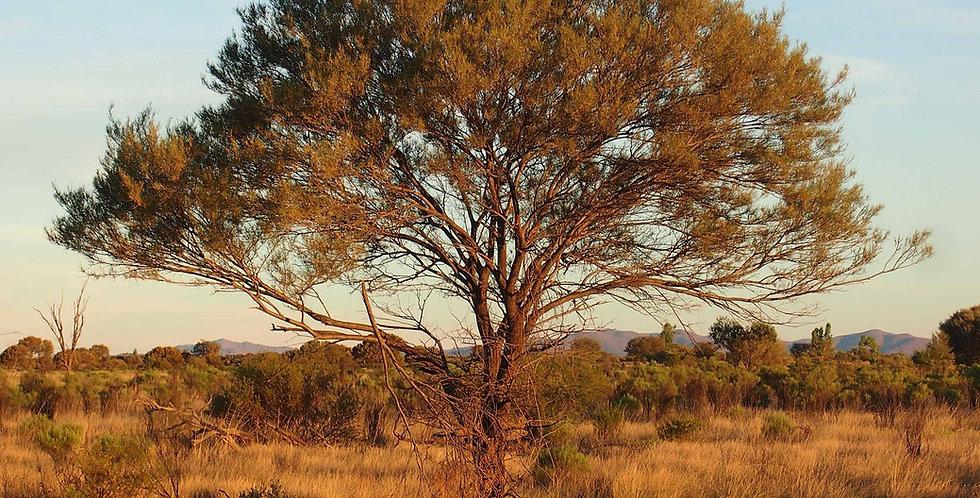 Australian Sandalwood Soy Candle