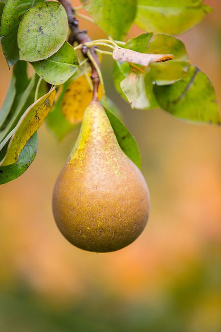Kent Cider Company Pear