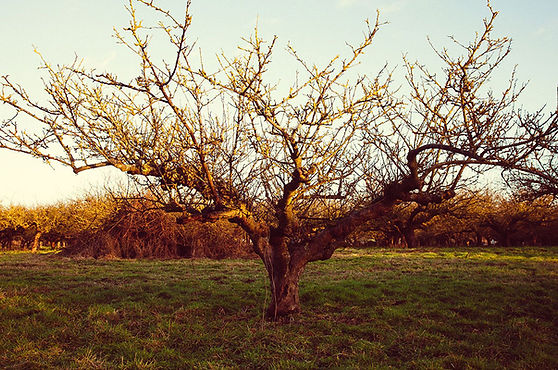 Kent Cider company tree