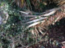 Yucca elephantides sandrine jardinage