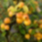 pommier-golden-hornet-1.jpg