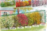 007800-Haie-des-quatre-saisons---6-arbus