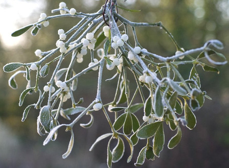 "Poem: ""An Ode To Mistletoe"""