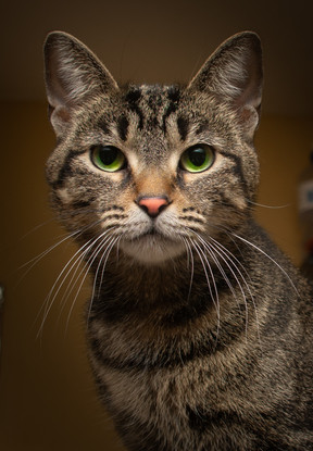 A striped brown cat staring at the camera