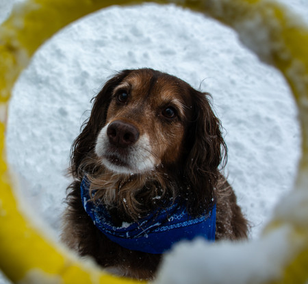 Brown dog in the snow being framed by a toy