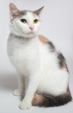 A spotted calico cat sitting on a white backdrop. This cat was up for adoption at Madison College.