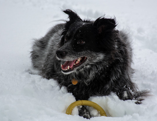 A black and gray dog in the snow