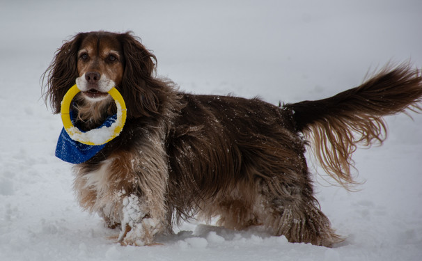A brown dog in the snow with a ring