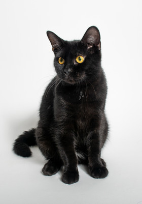 Black cat on a white background, this cat was up for adoption at Madison College