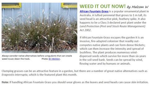 African Fountain Grass