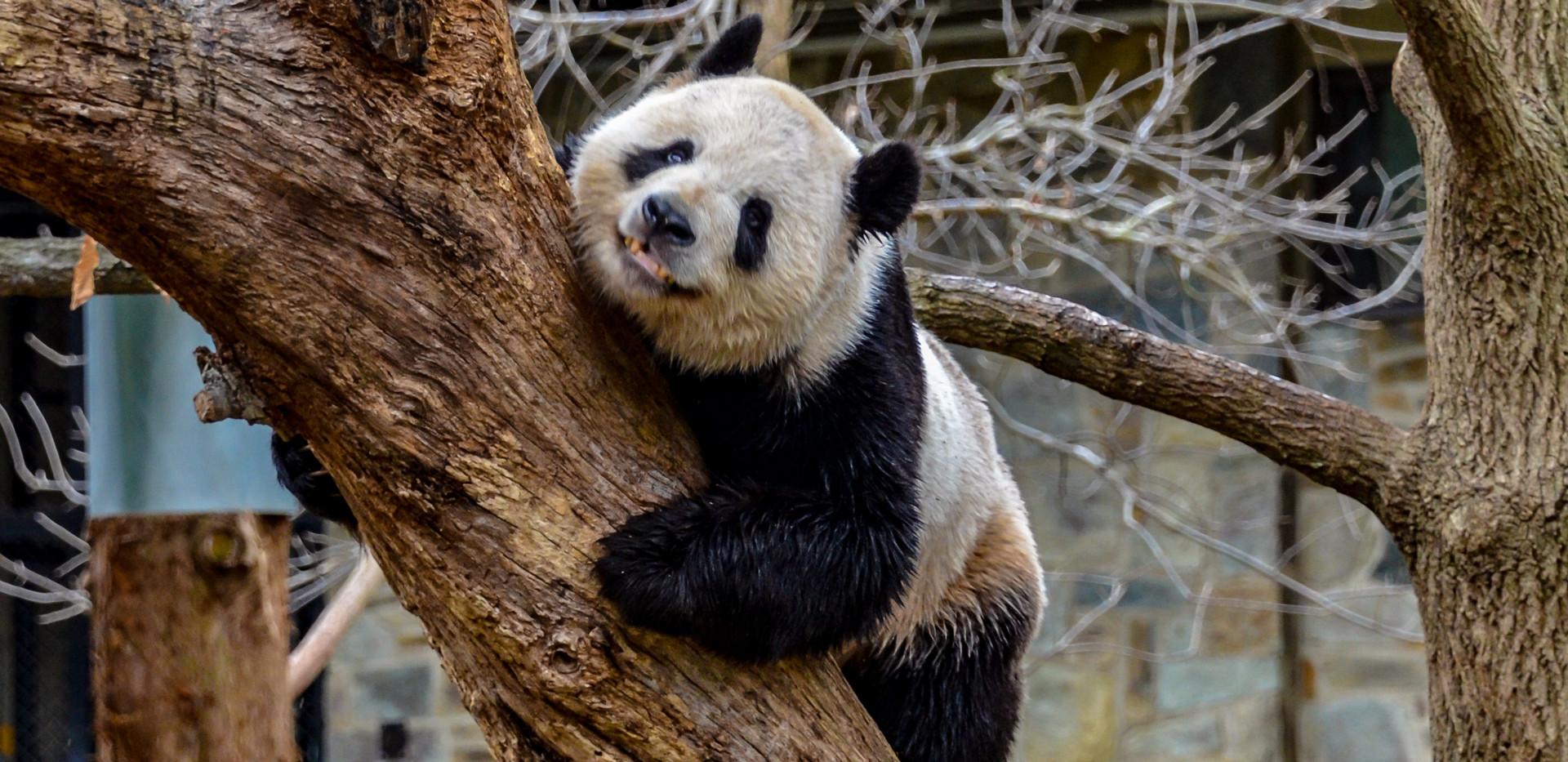Washington Panda