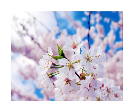 """Cherry Blossoms"" Photography Print"