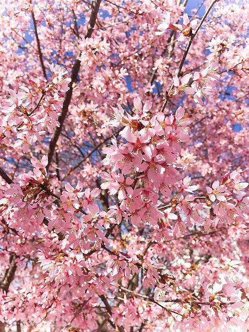 """Cherry Delight"" Photography Print"