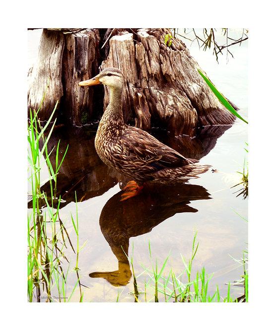 """Florida Duck"" Photography Print"