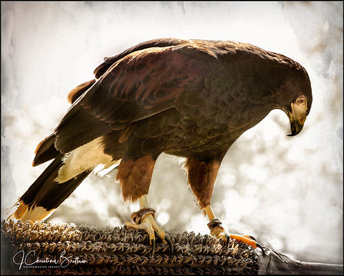 Earthquest founder, STEVE HODDY, brings his birds to Simmons Park. Ruskin, FL