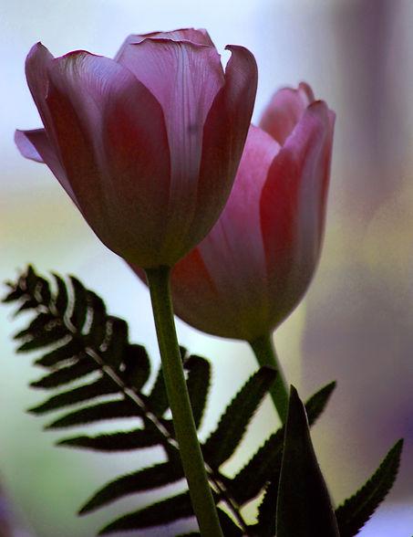 Tulips with light shining through