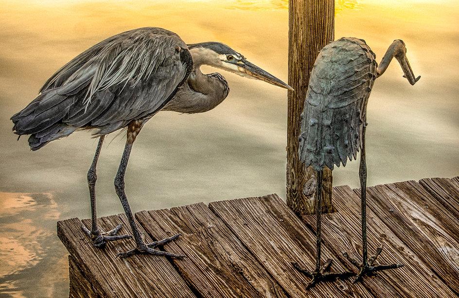 Heron looking for love in Rimpled Bothie Garden