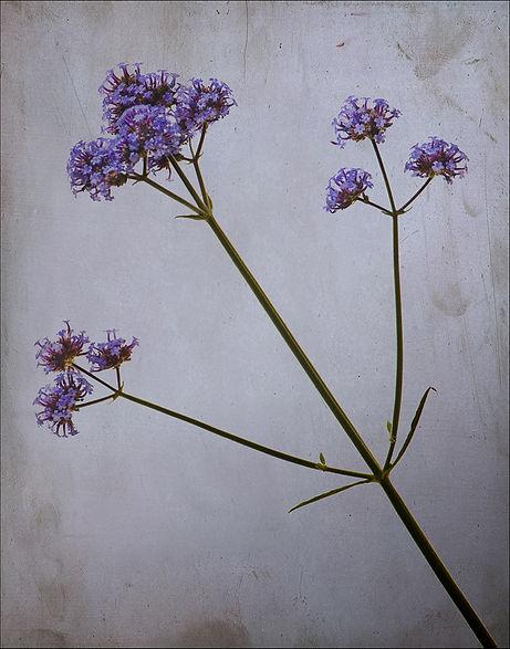 Stasis purple in Rimpled Bothie Garden
