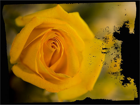 Yellow rose in studio