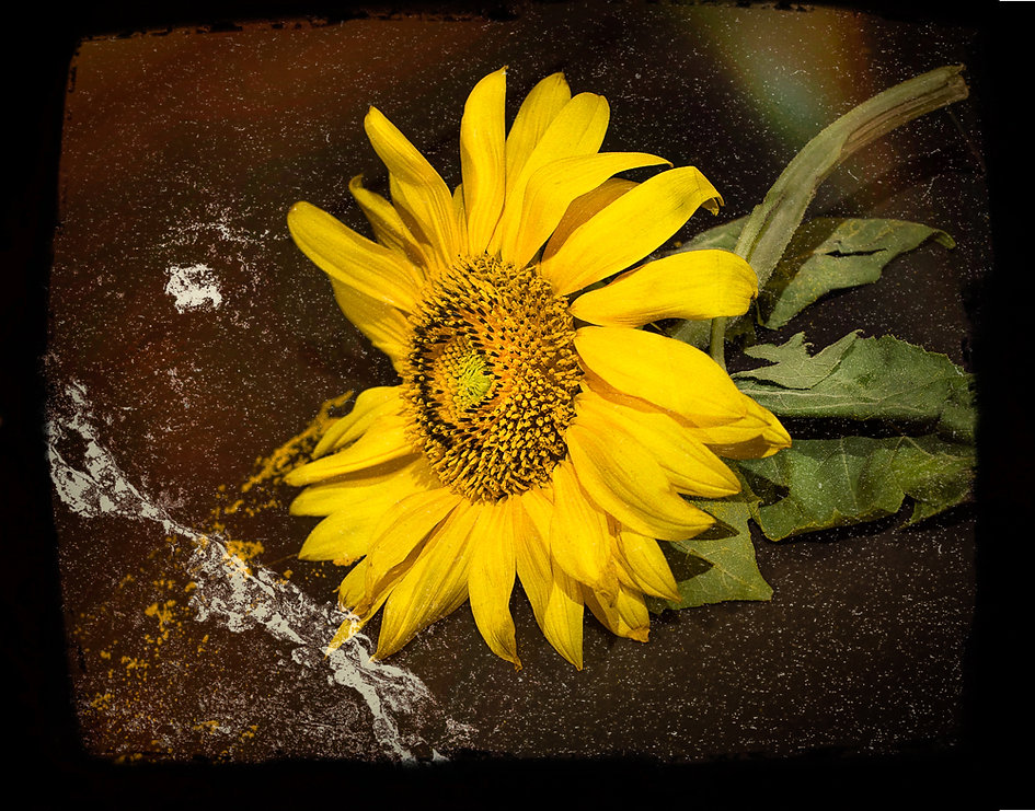 Sunflower in studio...I've Fallen and I Can't Get Up