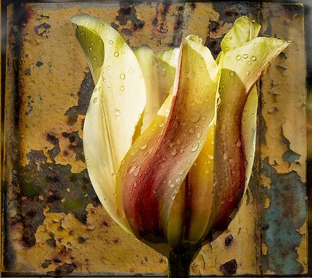 Tulip in studio with textures