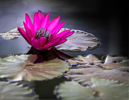 Lily in pond