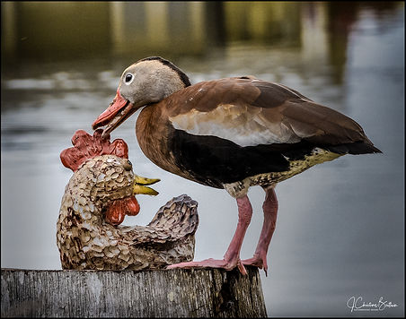 Whisting duck find love
