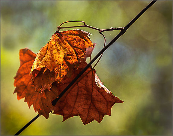 Last leaf on the tree as autumn turns to winter in Tampa FL