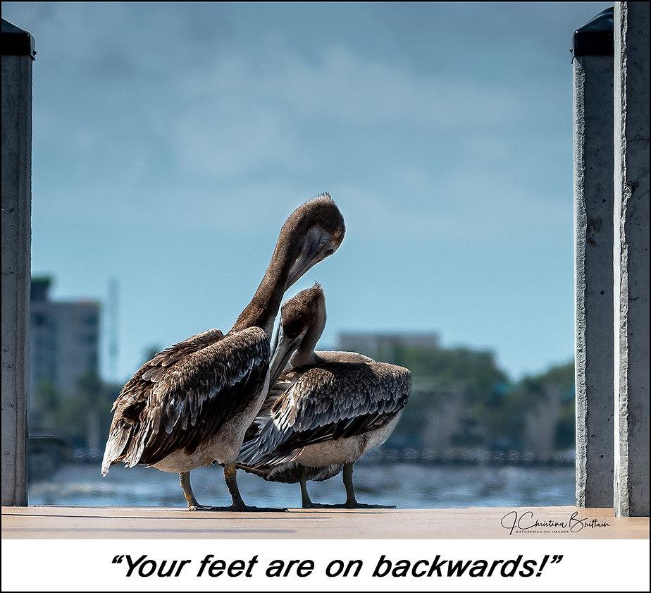Brown pelicans at Palmetto, FL