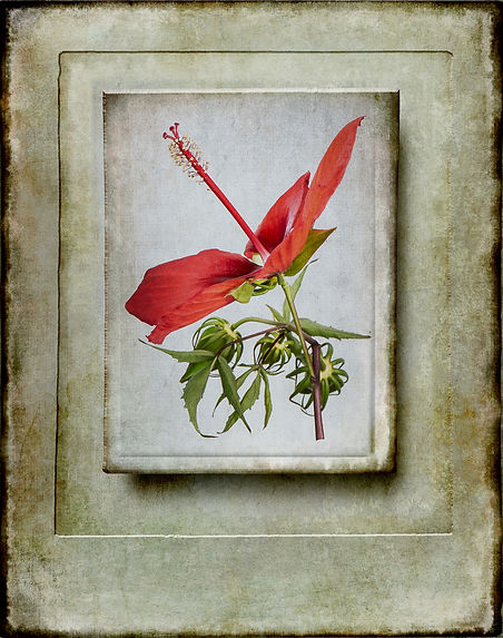 Scarlet hibiscus in Rimpled Bothie Garden
