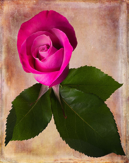 Rose is pink