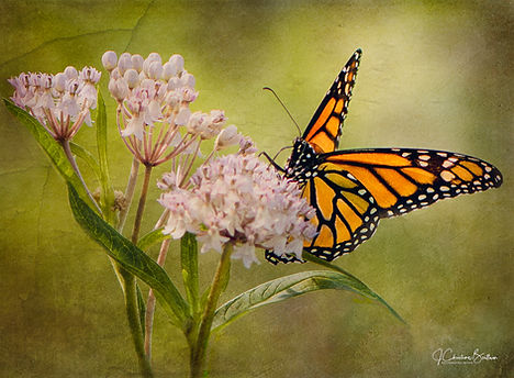 Monarch Butterfly: Explore the world and self by blending creative photography with Naturearoundand within