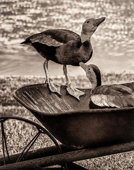 Whistling Ducks Barrel Buddies