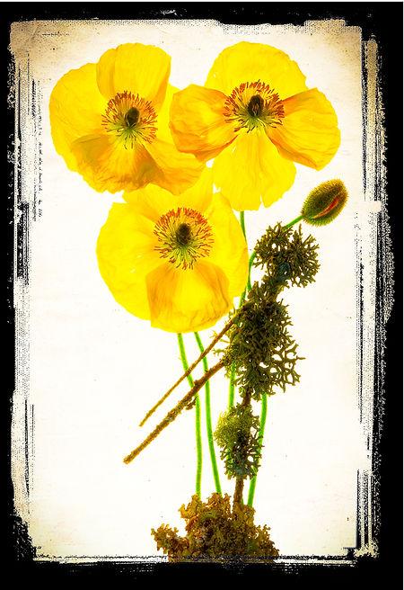 Poppies on lightbox inspired by Harold Davis