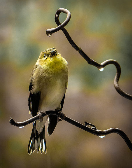 Goldfinch: Raindrops keep falling
