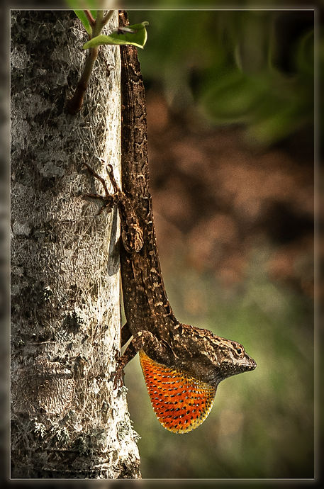 Lizard love in Rimpled Bothie Garden