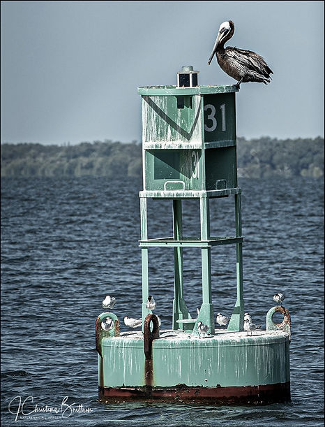 Pelican perched on channel marker, Tampa Bay, FL