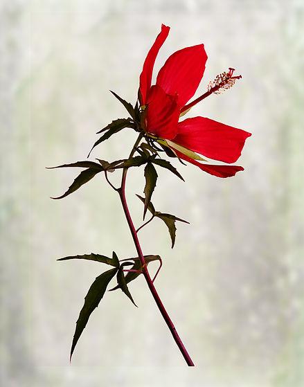 hibiscuses_2.jpg