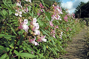 Balsam-Plants-In-Situ-Advanced-Invasives