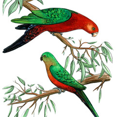 AB_KingParrots_couple_lrweb.jpg