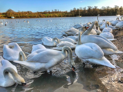 Swans in Lee-On-The Solent 2020