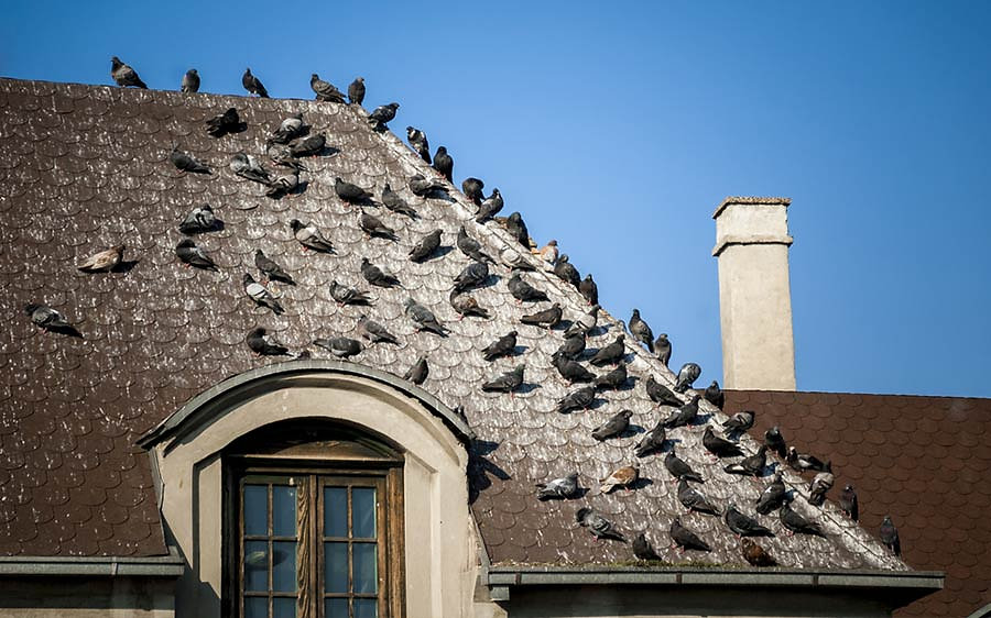 Can-Bird-Droppings-Damage-Your-Roof.jpg