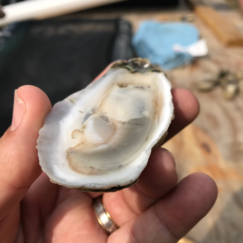 Nothing fresher than this oyster