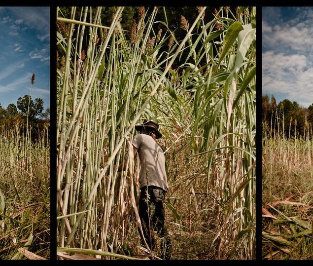 trace sorghum harvest